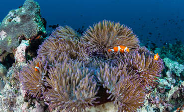 Clownfish swim amid their host anemone in the Solomon Islands, which is part of the Coral Triangle due to its incredible marine biodiversity.