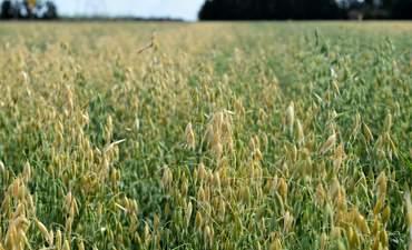 Winnipeg oats, regenerative ag